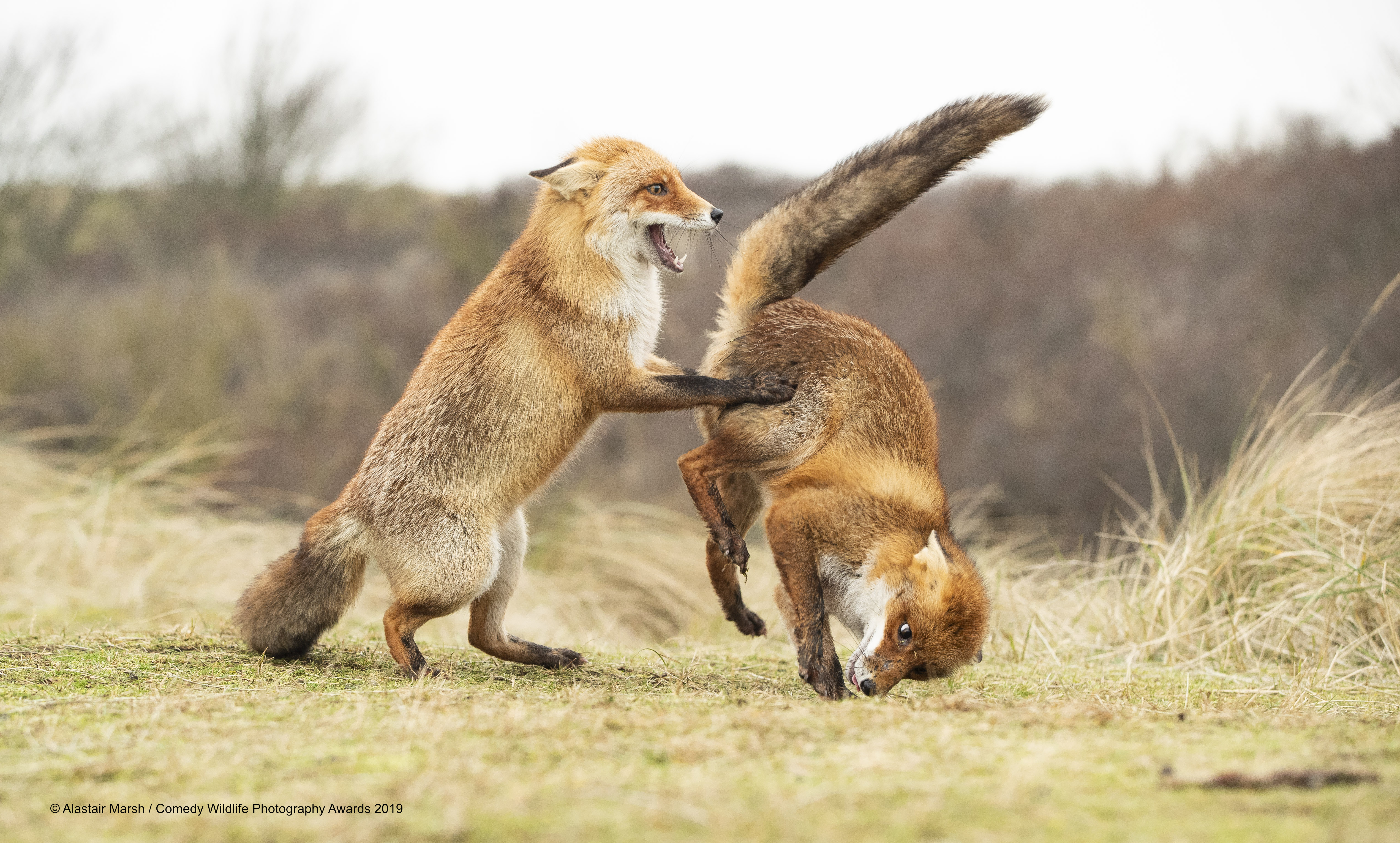 Red fox's playing