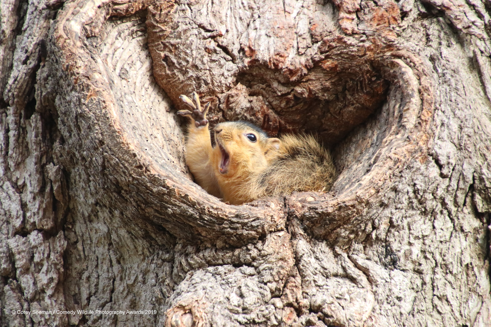 Fox Squirrel trapped in a tree hole.