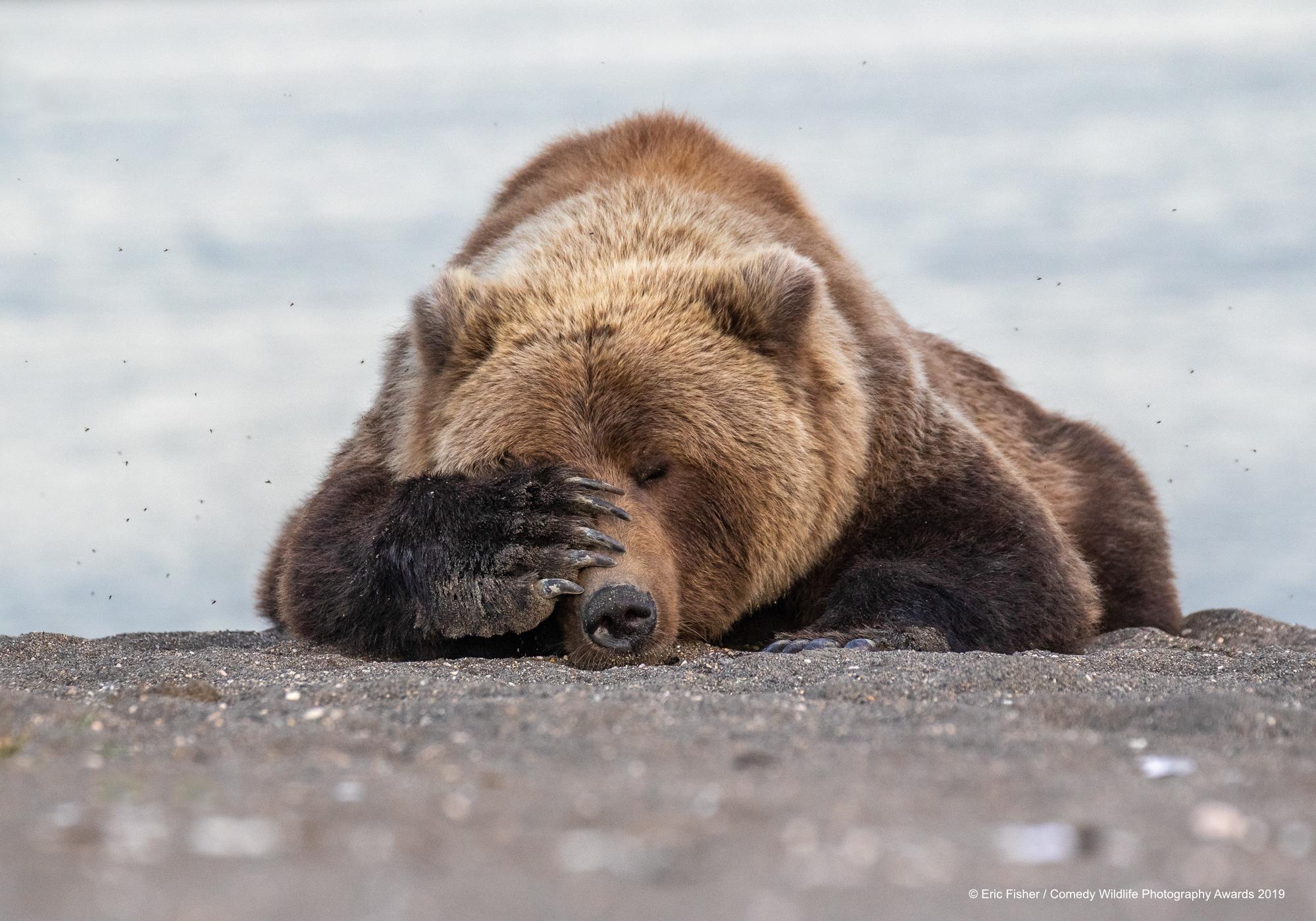 Brown bear has had enough.