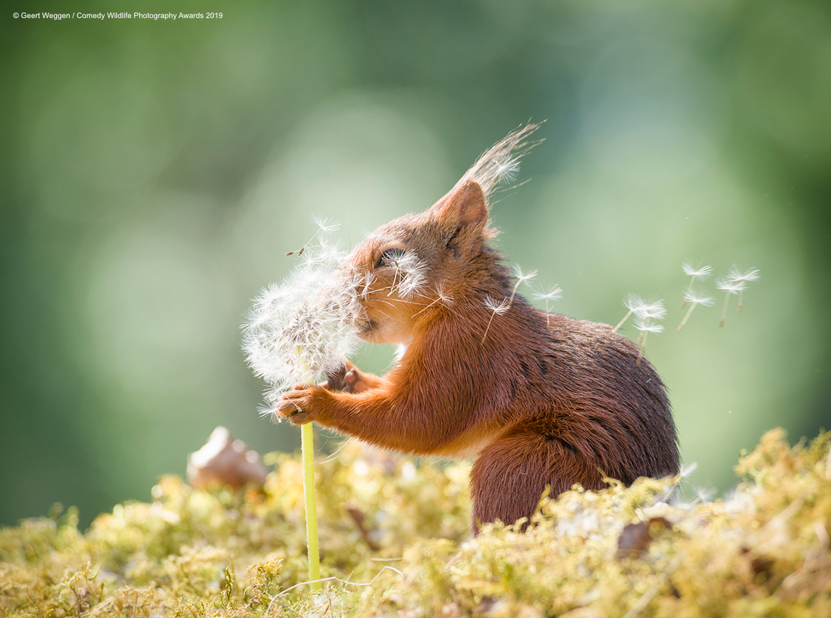 Red squirrel smelling a dandelion.