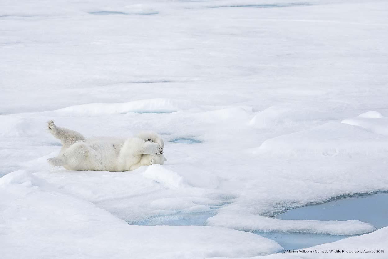 Polar bear overthinking.