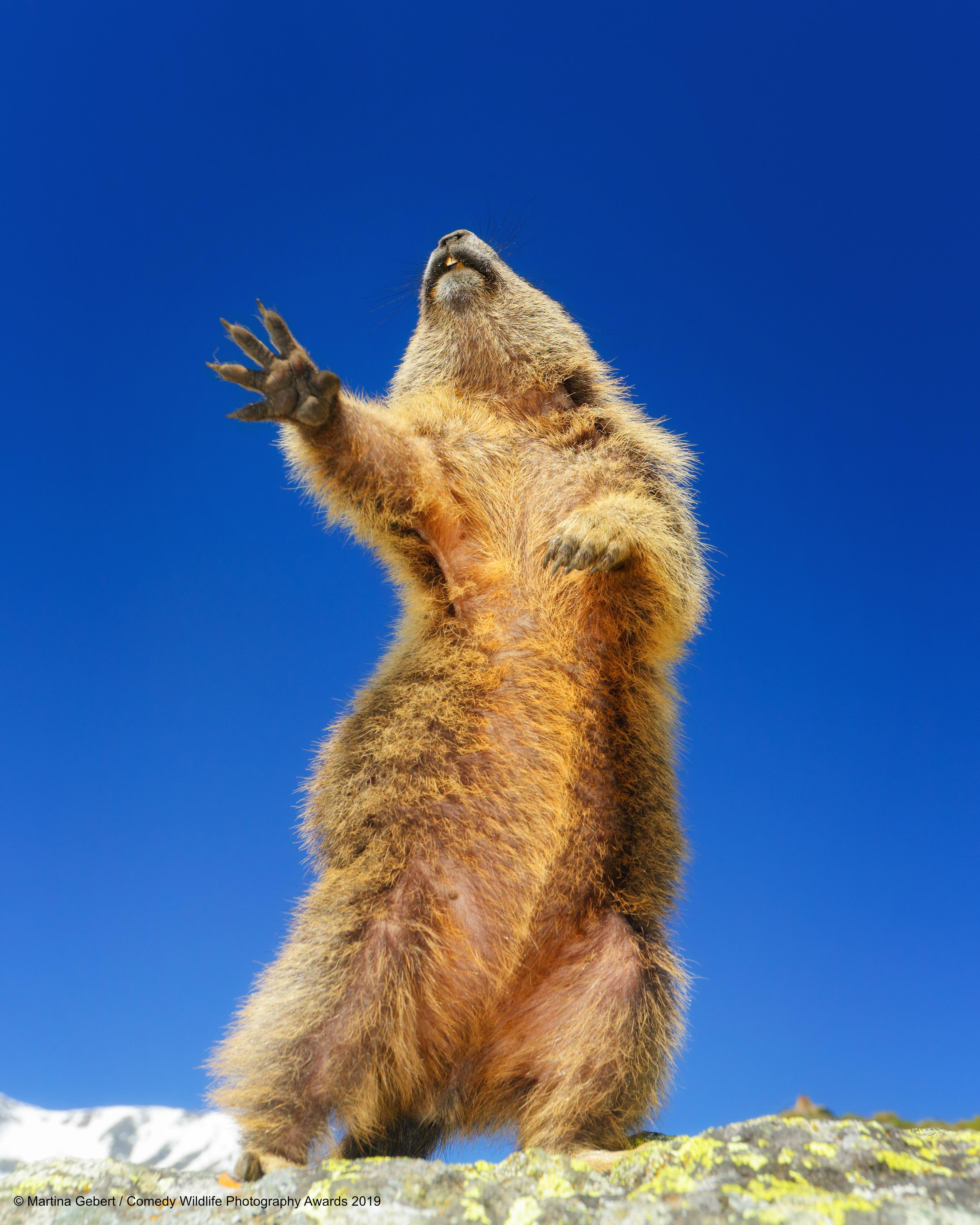 Dancing marmot.