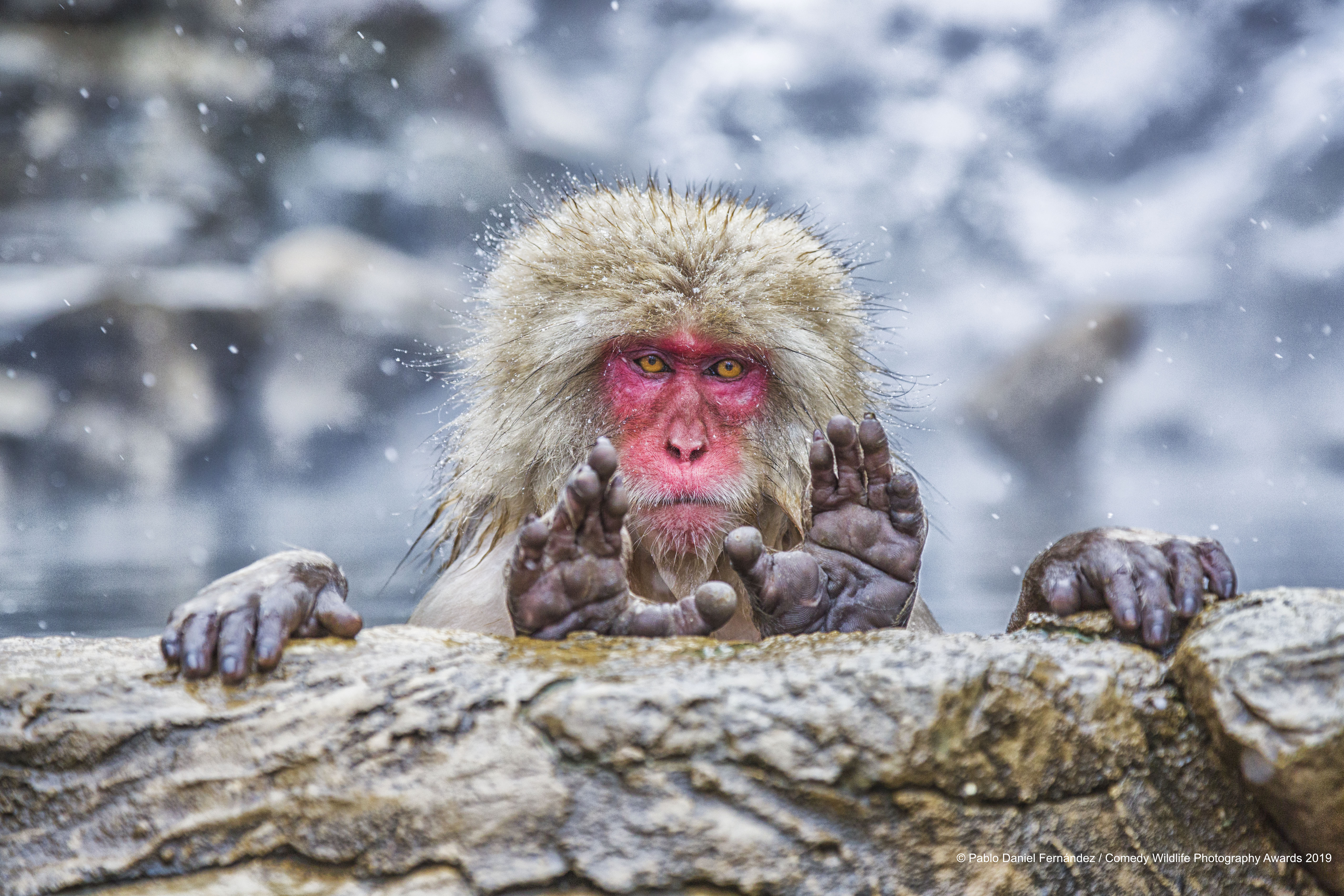 Japanese macaque framing a perfect shot.