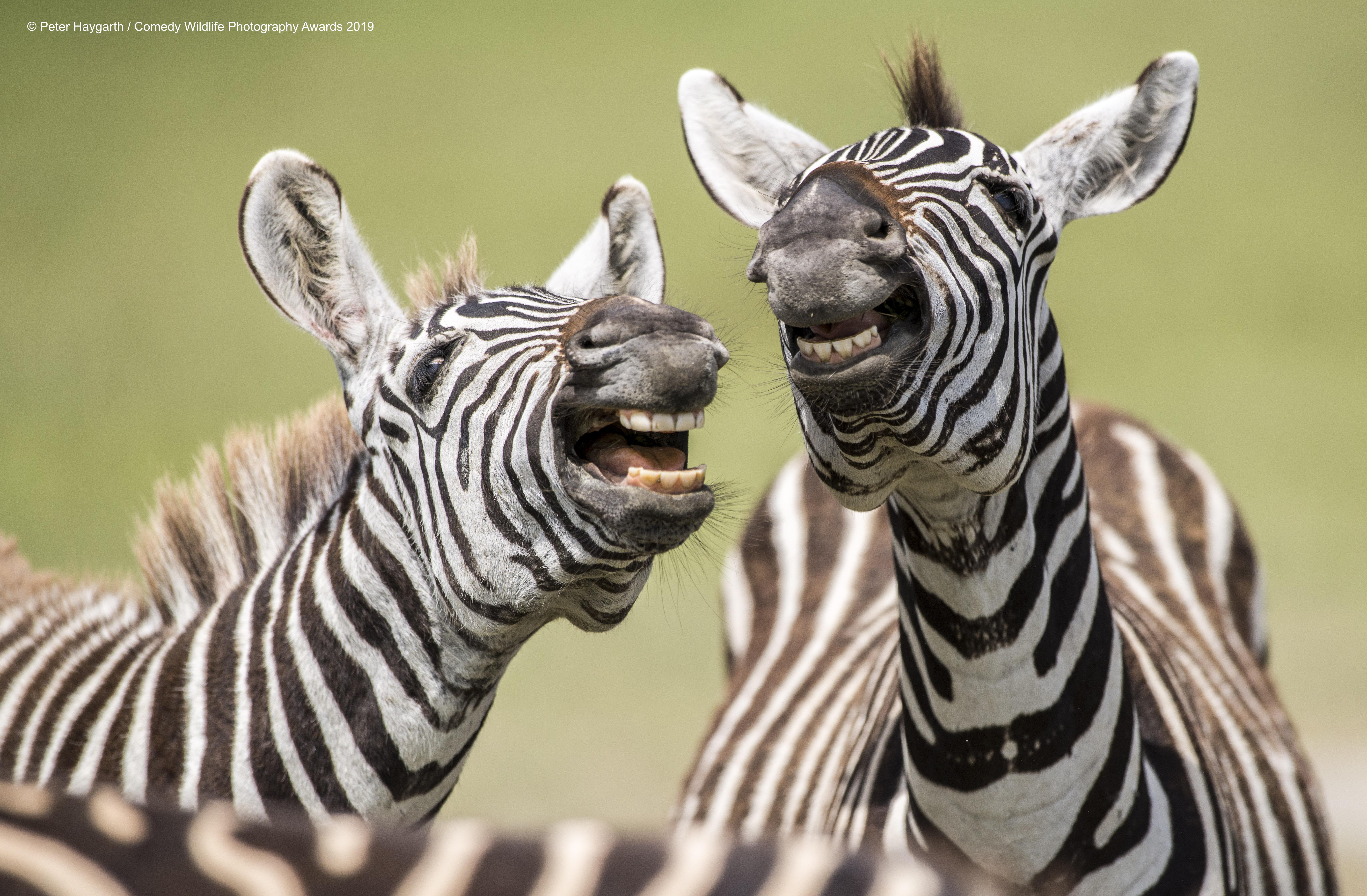 Zebra's singing.