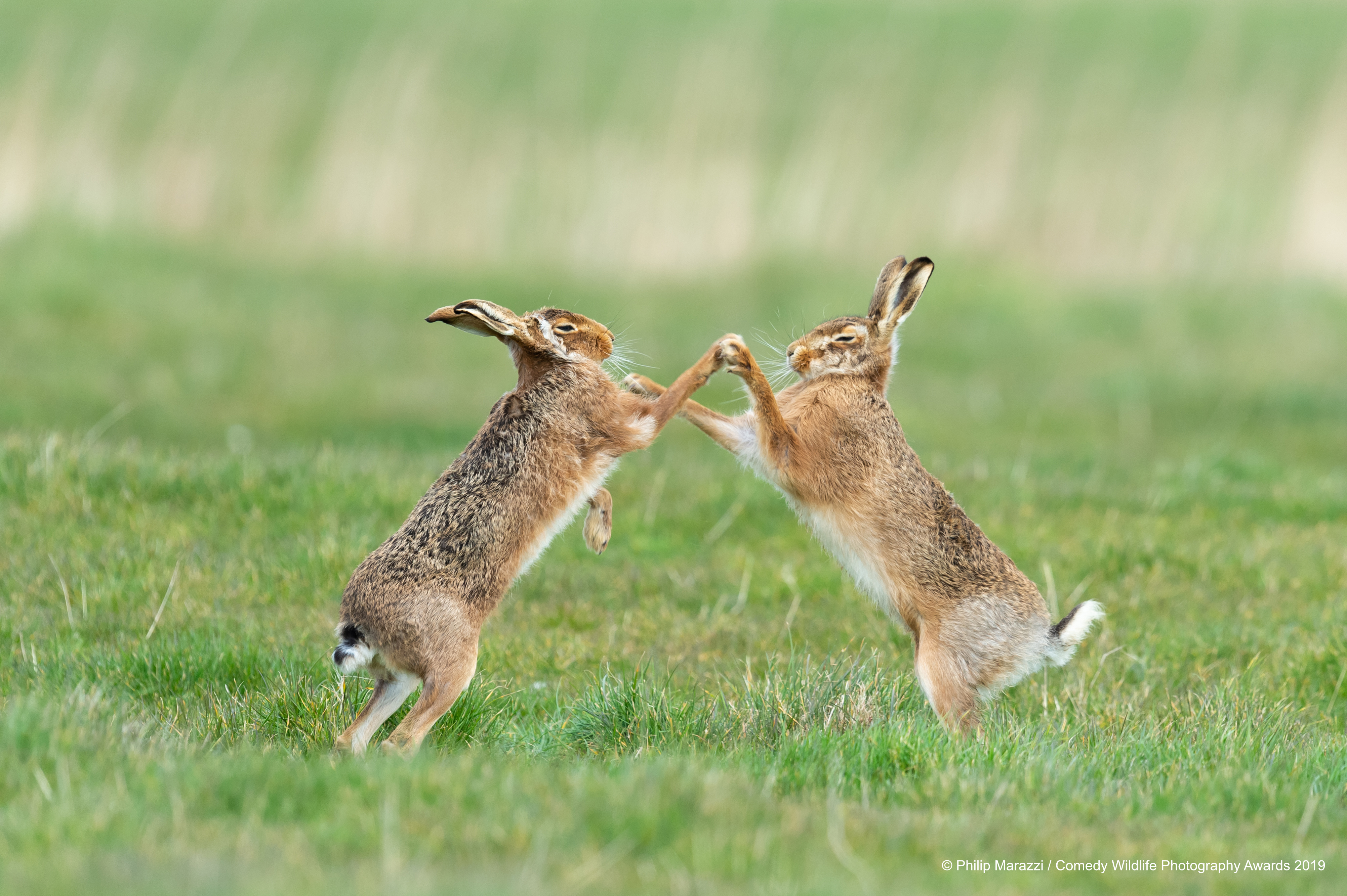 Brown hare's copying eachother.