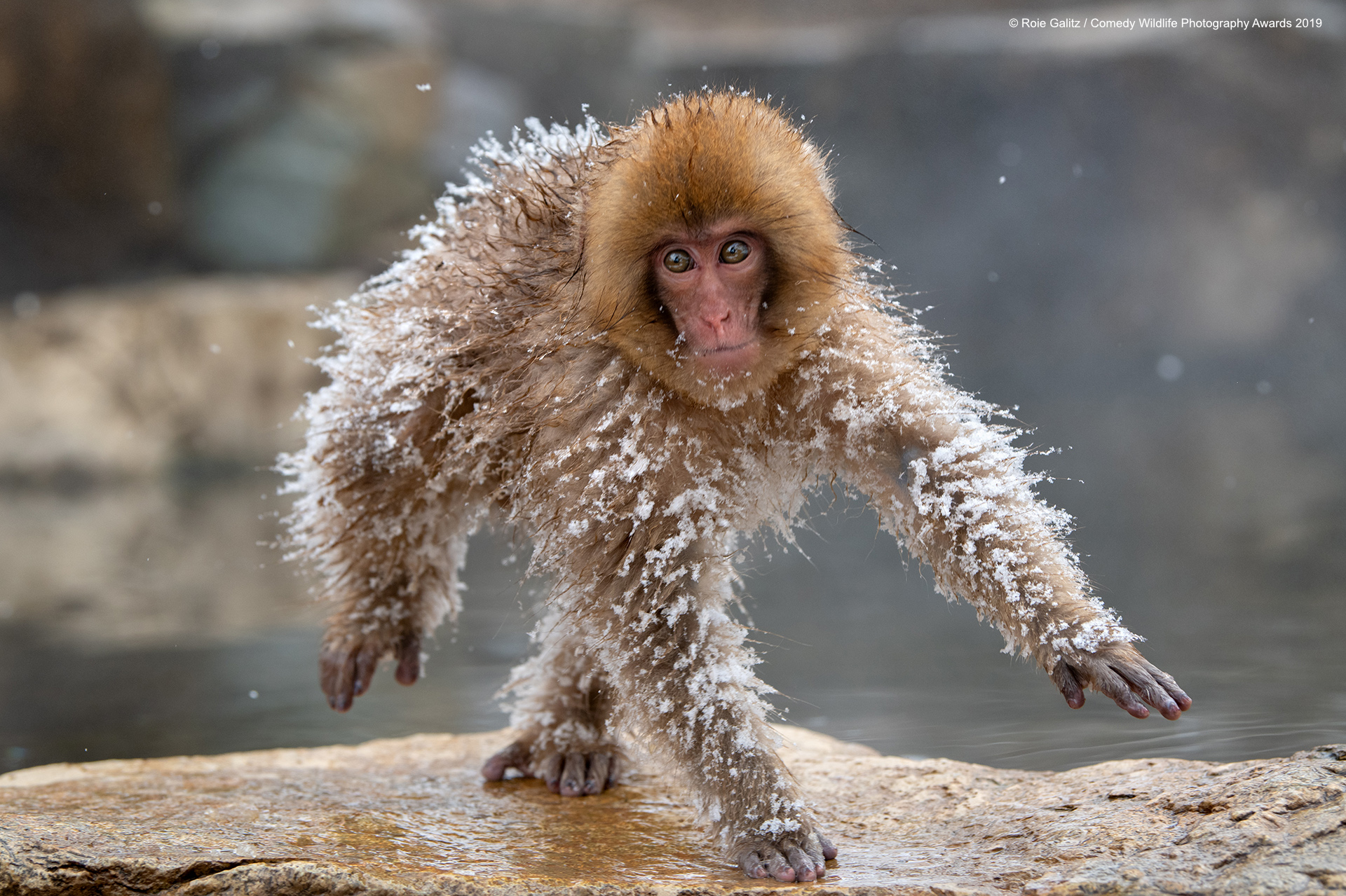 Japanese Snow Monkey sneaking back home.