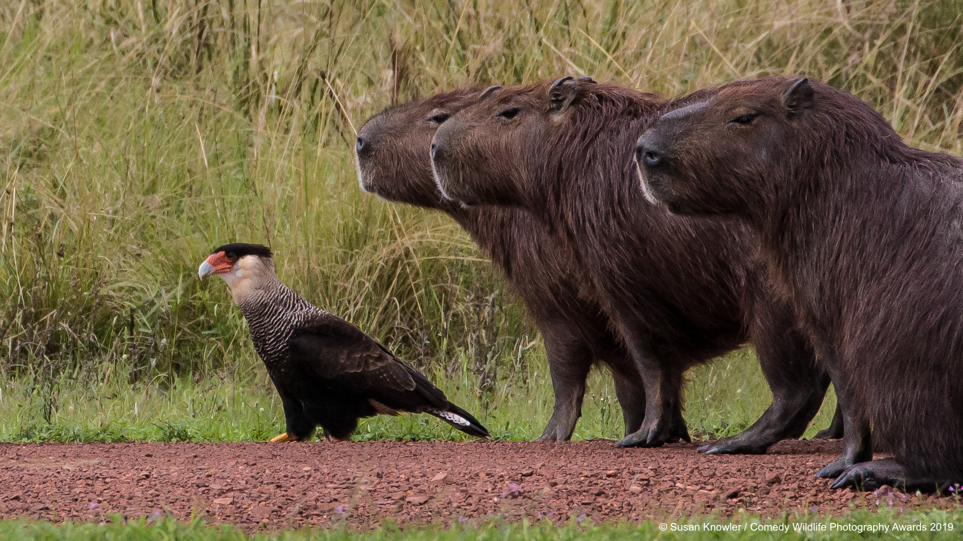 Northern Crested Caracara backed up by his Capybaras.
