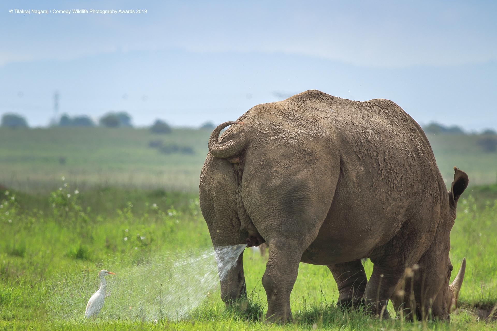 White rhino pissing on a Egret.