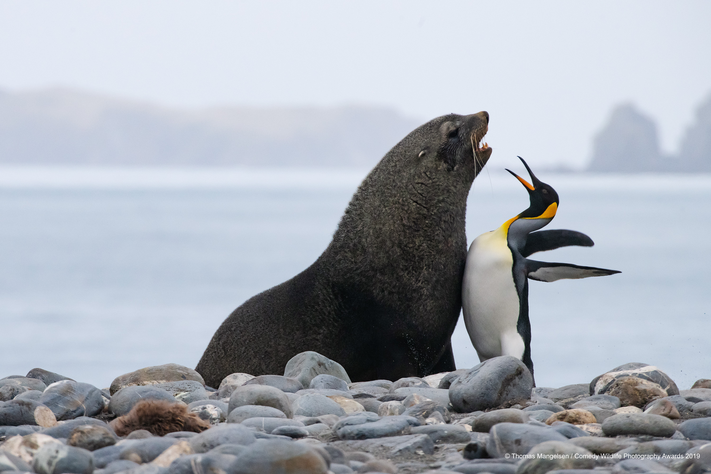 King Penguin & Antarctic Fur Seal Chest Bump