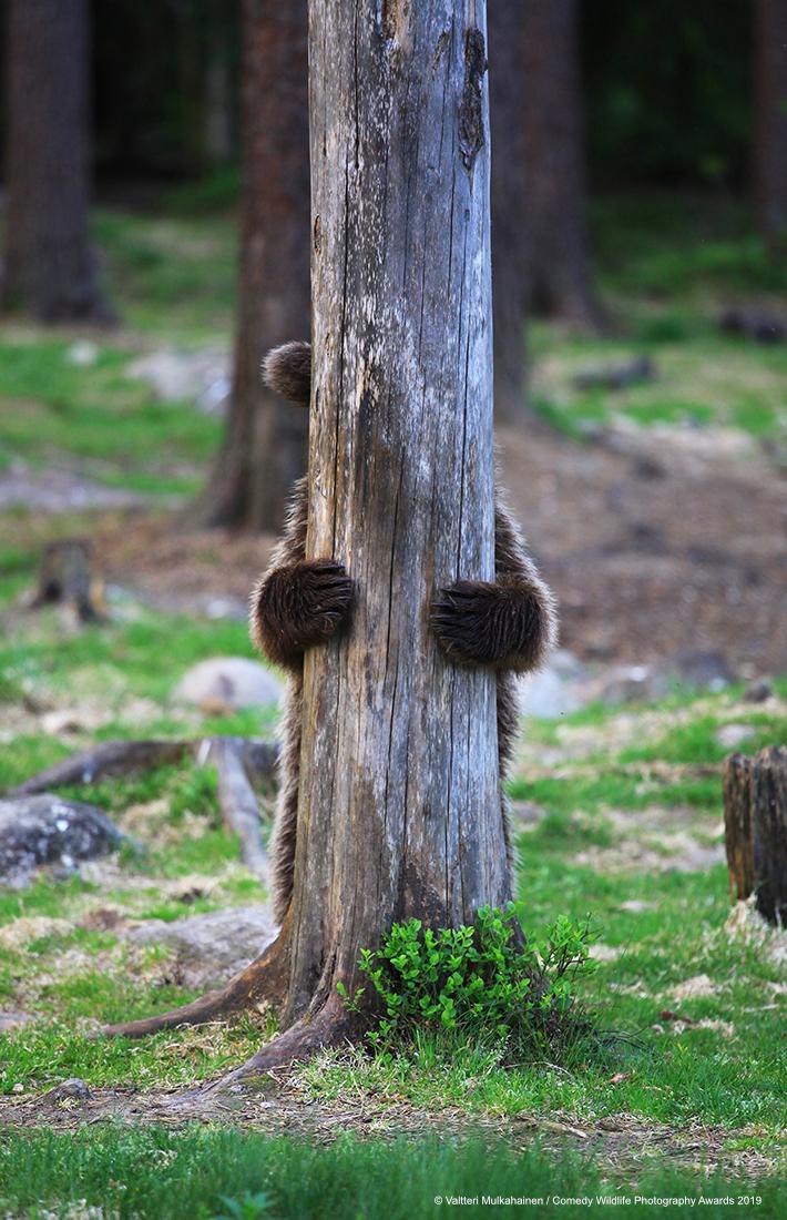 Brown bear hiding behind a tree.