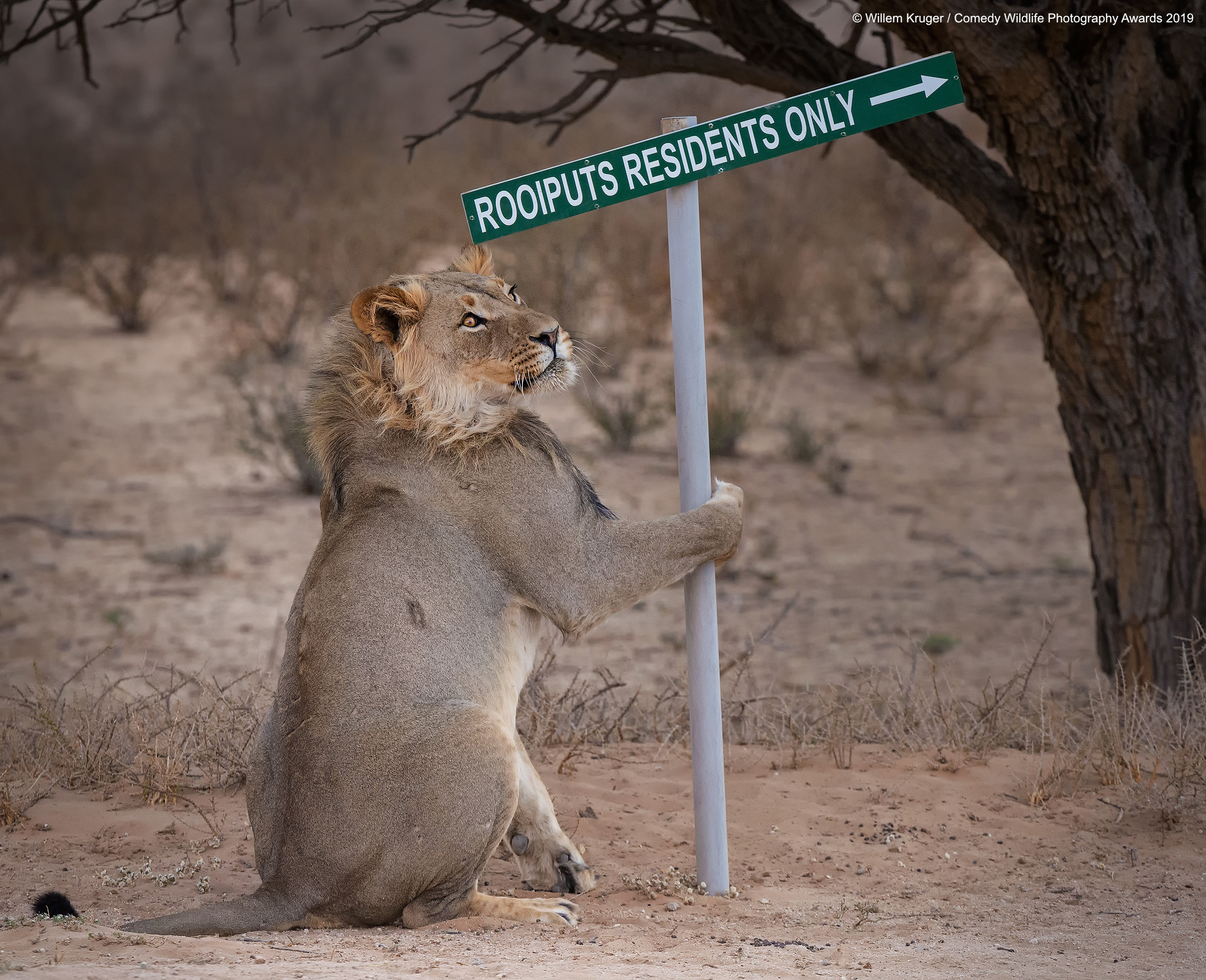 Lion turning a street sign.